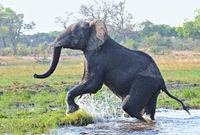 Elefant raus aus dem Wasser