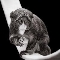 Baby De Brazza's Monkey VII