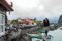 Frigate bird sits on a branch on the background of the Academic Bay in Puerto Ayora. Santa Cruz, Galapagos Islands, Ecuador