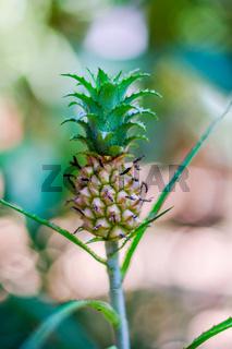 Small jungle pineapple