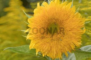 Gefuellte Sonnenblume