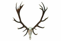huge red deer skull with beautiful antlers