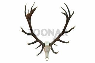 huge red deer skull with beautiful antlers