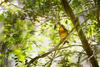 Sonnenvogel (Leiothrix lutea)