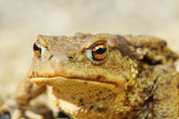 european common brown toad portrait ( Bufo