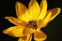 Blumenporträt Engelmannia peristenia