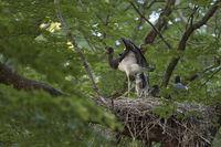 Unruhe... Schwarzstorch *Ciconia nigra*, Jungvögel werden lansam flügge