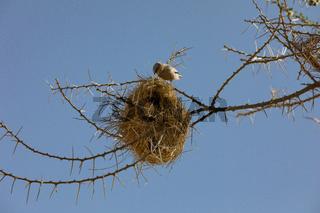 Webervogel beim Nestbau, im Serengeti Nationalpark