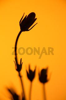 Rundblaettrige Glockenblume, geschlossene Silhouette, Campanula rotundifolia, Bellflower