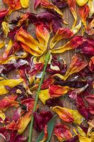 Als Blume arrangierte verwelkte Blütenblätter von Tulpen