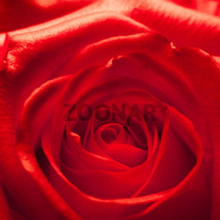 Head of a red rose