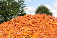 Many orange Carrots lying on farm