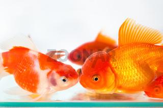 goldfish closeup