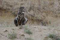 wachend... Europäischer Uhu *Bubo bubo* steht exponiert auf einer kleinen Anhöhe, lüftet Flügel