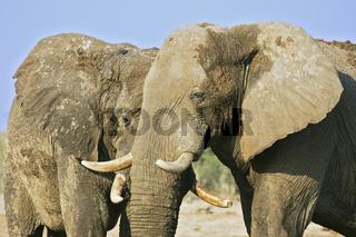 Afrikanischer Elefant, Bulle (Loxodonta africana) an Wasserloch, Savuti, Chobe National Park, Botswana, Afrika, bull African Elephant at waterhole, Africa