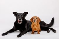 crossbreed dog and Dachshund, best friends