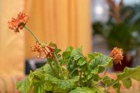 orangefarbene Gerbera verblüht - Nahaufnahme Zimmerblume welkt