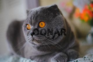 Cat Scottish Fold