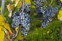 Kaolin-Belag auf Weintrauben als natürliches Schädlingsbekämpfungsmittel im Bio-Anbau