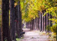 metasequoia road haneul park in fall