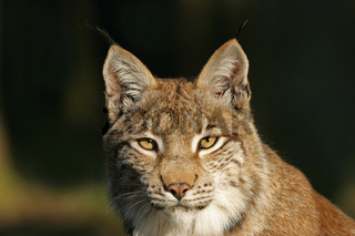 Europaeischer Luchs (Lynx lynx) im Nachmittagslicht, European Lynx in afternoon light
