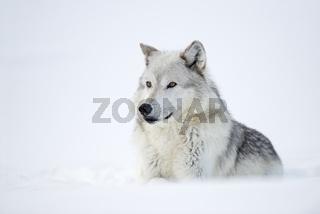 kräftig... Timberwolf *Canis lupus*
