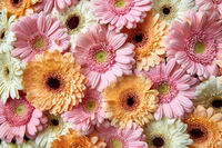 Natural floral background of bright gerberas. Spring concept