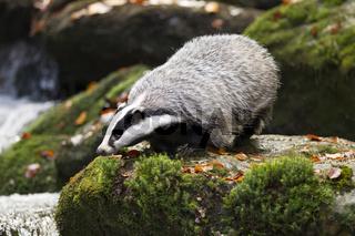 Dachs, Meles meles, European badger