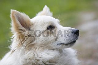 Hundeportrait - weißer Spitz  auf grüner Wiese