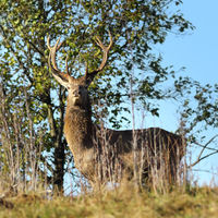 wild red deer stag looking towards the camera ( Cervus elaphus )