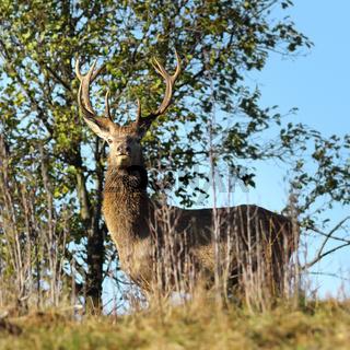 wild red deer stag looking towards the camera ( Cervus elaphus )