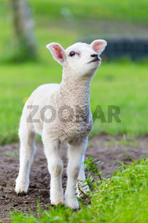 One white newborn lamb standing in green grass
