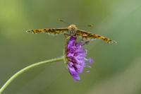 Flockenblumen Scheckenfalter, Melitaea phoebe, Knapweed Fritillary Butterfly