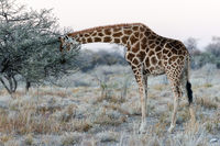 Close view of Namibian giraffe eating leaves at savanna