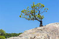 Lonely pine grows on rock. Sithonia Peninsula.
