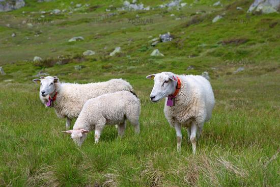 Sheep in Lysefjord