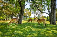 Sika deers in Nara Park, Japan