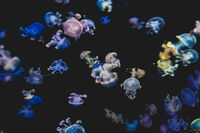 colorful jellyfishes on black background - white spotted jellyfish -