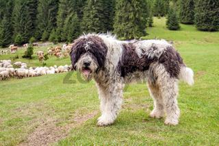Shepherd dog watching