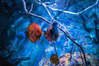 Symphysodon discus in an aquarium on a blue background
