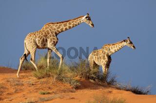 Giraffes on sand dune