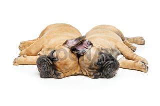 french bulldog puppies sleeping