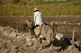 Local man riding a donkey while working on a field in Arequipa Peru