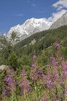 Waldweidenröschen vor mächtigen Viertausender