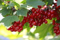Red currants in the garden.