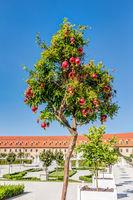 Granatapfelbaum in der Gartenanlage der Burg Bratislava
