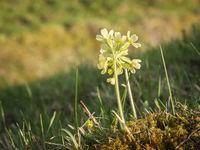 Primula veris auf Moos