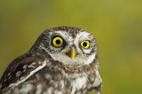 portrait of cute little owl ( Athene noctua ) over green out of focus background