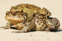 Bufo toads mating in spring ( brown common toad )