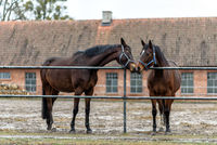 horses on a paddock on a farm in eastern Poland